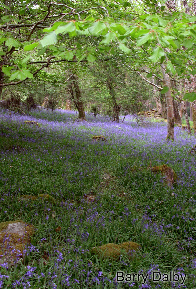 Bluebells at Portumna