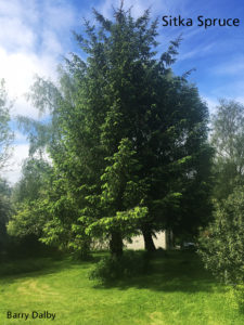 Read more about the article Sitka Spruce