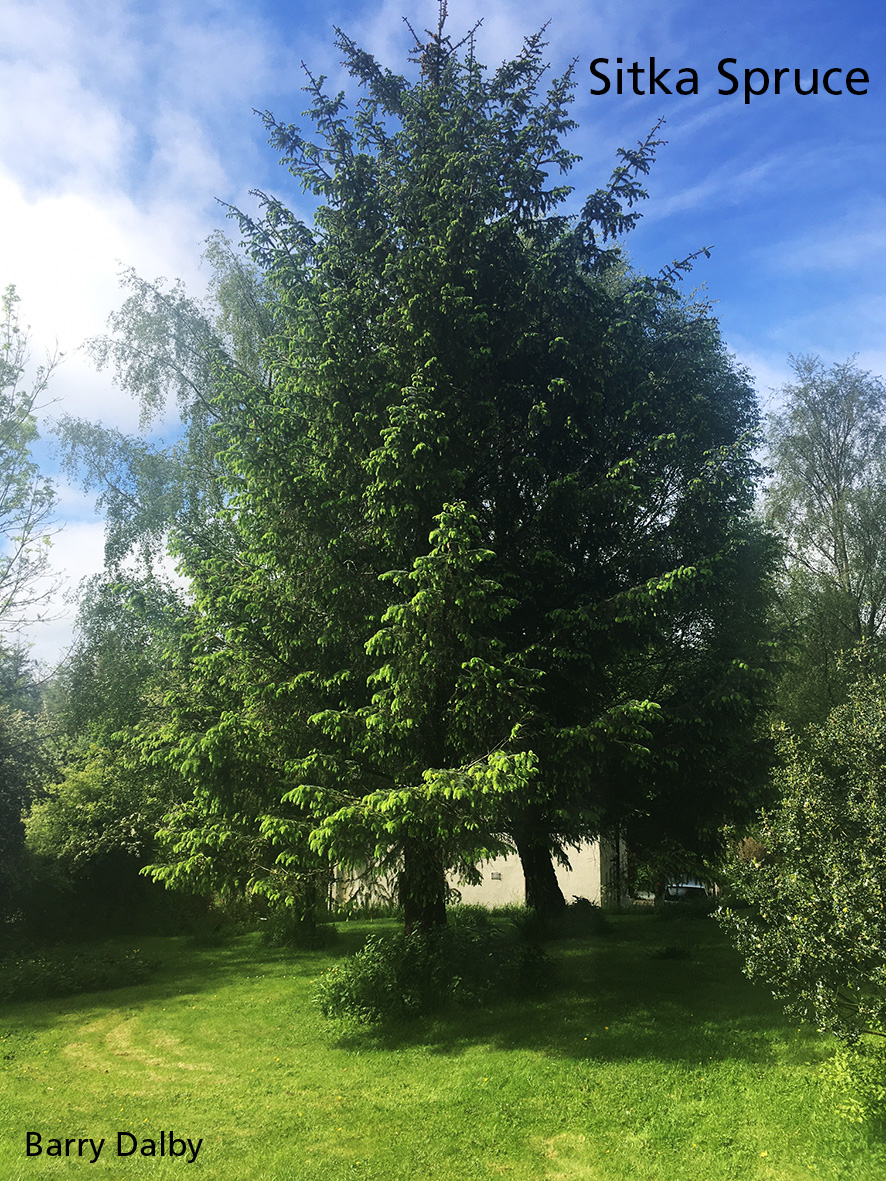 You are currently viewing Sitka Spruce